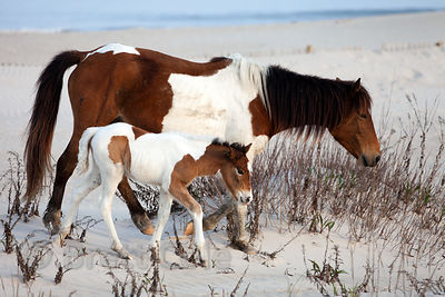One month old baby wild horse (Equus ferus caballus) and its mother on sand dunes along the Atlantic Ocean, Assateague Island...