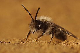 Andrena nycthemera - male