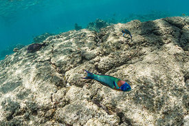 Saddle Wrasse along Coral Reef off Big Island of Hawaii
