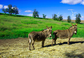 Donkeys in the country