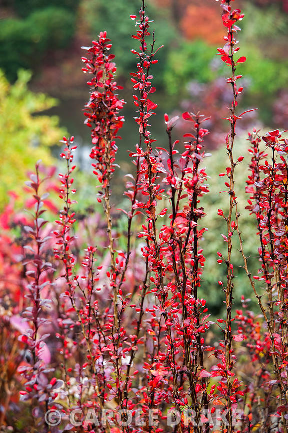 Colourful upright Berberis thunbergii f. atropurpurea 'Helmond Pillar'. The Dingle Garden, Welshpool, Powys, Wales