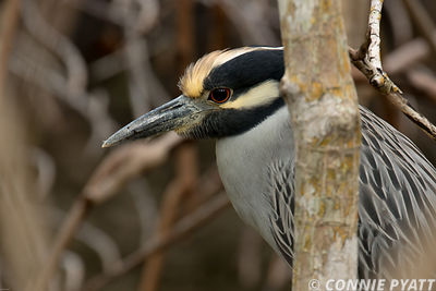 Yellow Crested Night Heron