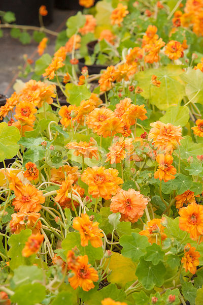 Tropaeolum majus 'Margaret Long', capucine, orange