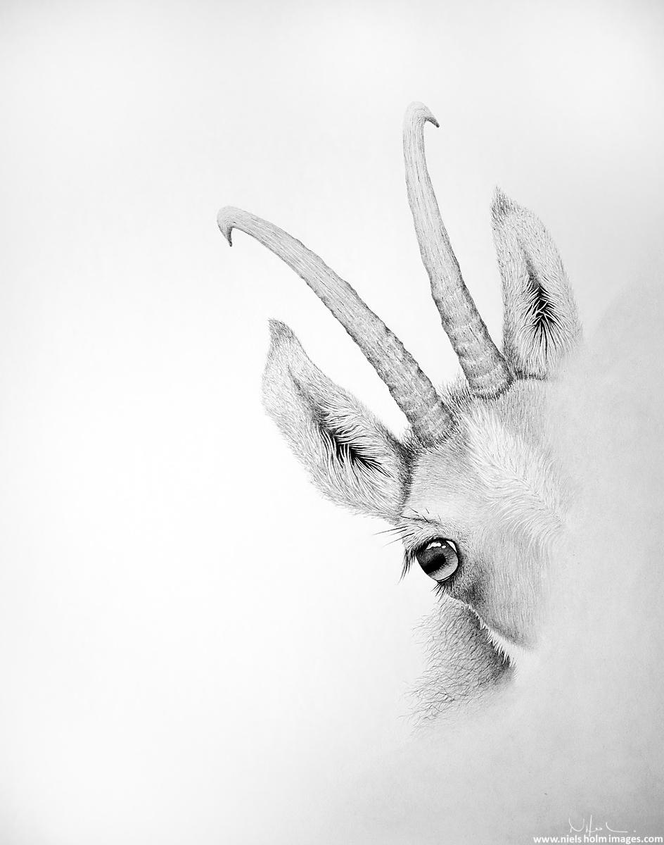 Wild goat in graphite