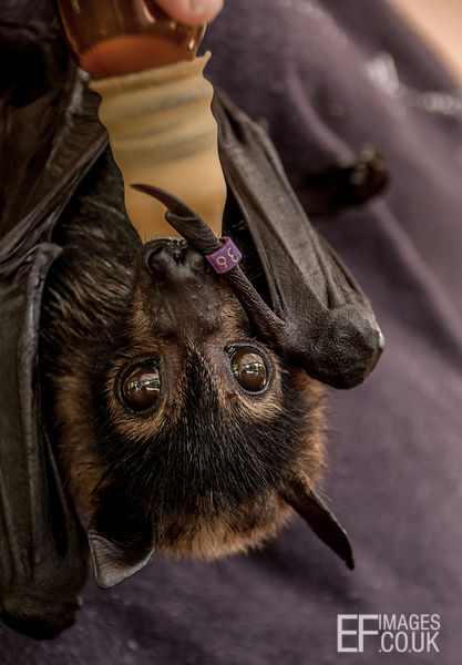 Spectacled Bat Baby, Or Flying Fox, Being Fed At A Rescue Center  Close Up
