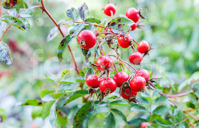 Rosa 'Maria Graebnerae', Rosier, fruits, rouge