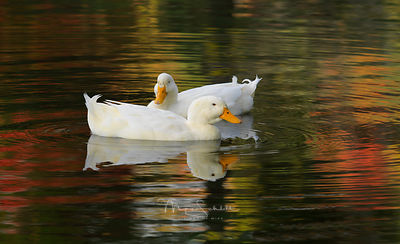 Photo_shoot_with_Alec_ducks_crop_nik_2014_0552