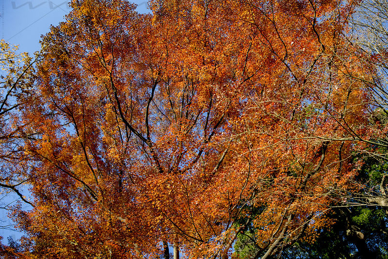 _W_P344-Tokyo-park-momiji-red-leaves-tree