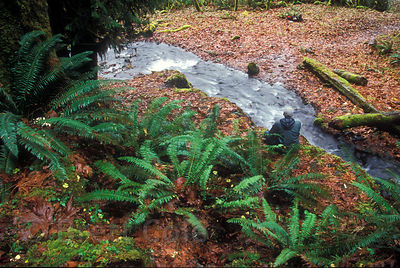 The photographer sits camouflaged along a small tributary to the Hoh River, Olympic Rainforest, Washington.
