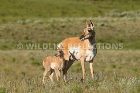 pronghorn_doe_and_fawn_pose