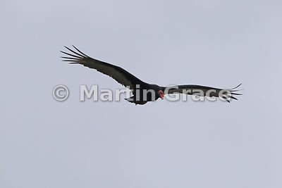 Turkey Vulture (Cathartes aura) in flight, Punihuil, Chiloe Island, Chile