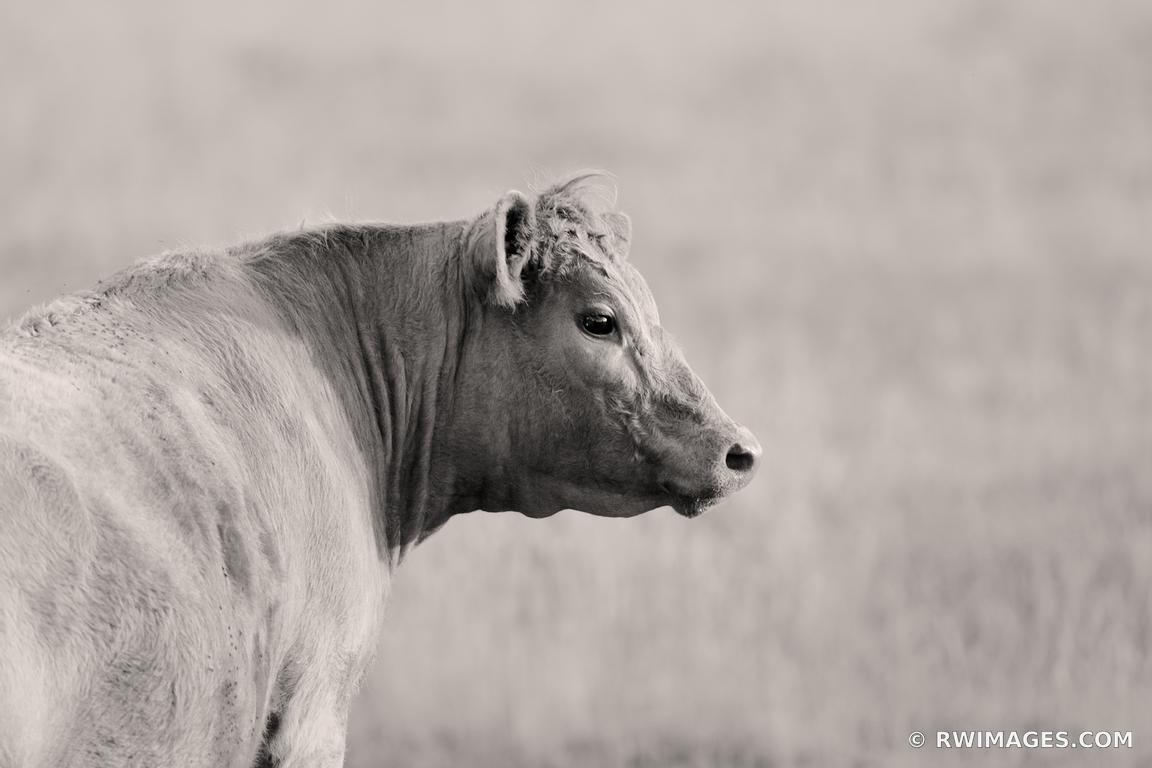 COW BLACK AND WHITE