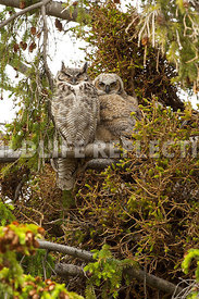 great_horned_owl_mom_and_kid-24