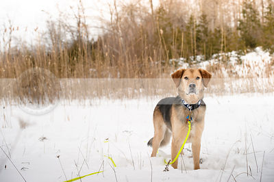 black and tan shepherd cross breed dog standing in snow field