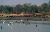 Herd of African buffalo (Syncerus caffer) and birds in the Luangwa river, South Luangwa National Park, Zambia