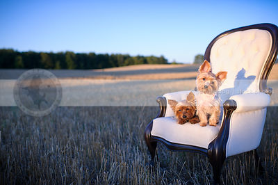 two cute yorkie dogs tilting heads on chair in wheatfield at sunset