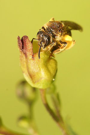 Lasioglossum species on Scrophularia nodosa