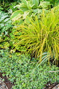 The Vean Garden is predominantly white, blue and gold including variegated ivies, golden Carex elata 'Aurea', variegated comf...