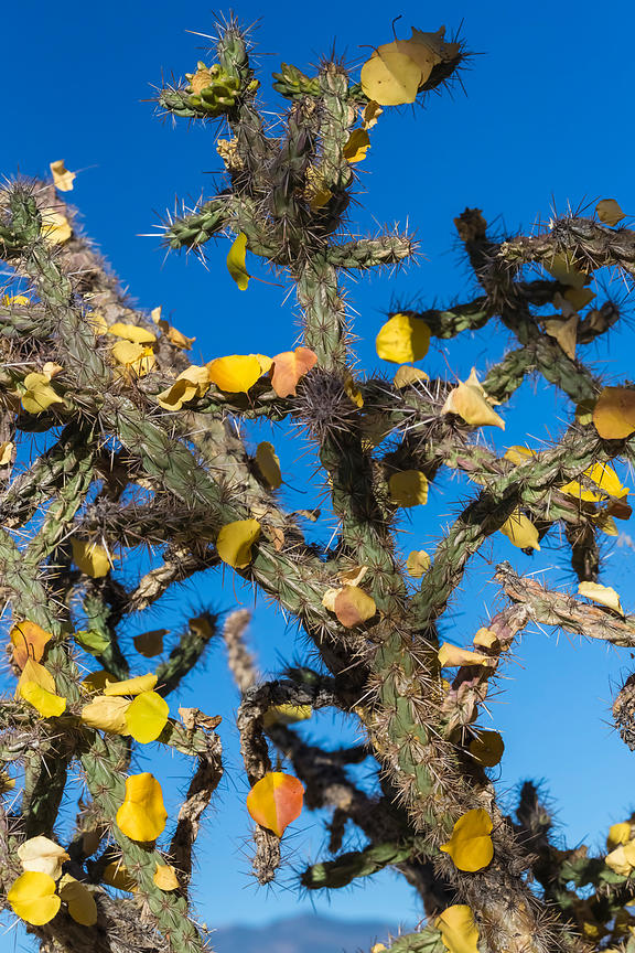 Autumn Leaves Caught on Cholla Cactus