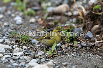 Female Black-Chinned Siskin (Carduelis barbata), Chiloe Island, Chile