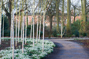 Silver birch trees underplanted with snowdrops in the birch triangle, Winter Garden, Dunham Massey, Altrincham, Cheshire, UK