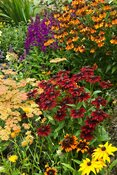 Border with Rudbeckia 'Cherry Brandy', achillea, helenium and lobelia. Poppy Cottage Garden, Roseland Peninsula, Cornwall, UK