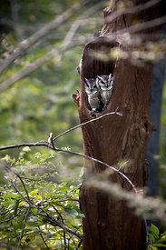 Unidentified owls, Ranthambore National Park, Rajasthan, India (4)