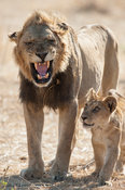 Male lion with cub (Panthero leo), Ruaha National Park, Tanzania