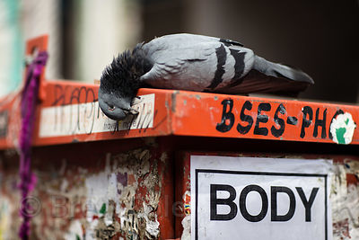 "A dead pigeon next to a sign reading ""BODY"" in Paharganj, Delhi, India"