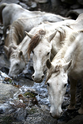 Horses drink from a creek at Rohtang Pass (13,054 ft., 3,979 m), Manali, India