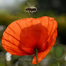 Coquelicot et abeille 2 Ennery Val d'Oise 06/09
