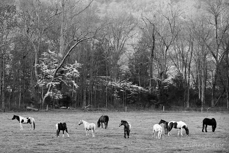 HORSES CADES COVE SMOKY MOUNTAINS BLACK AND WHITE