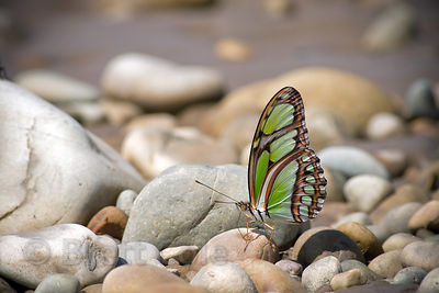 Butterfly on the sandy banks of the Tambopata River, Peruvian Amazon
