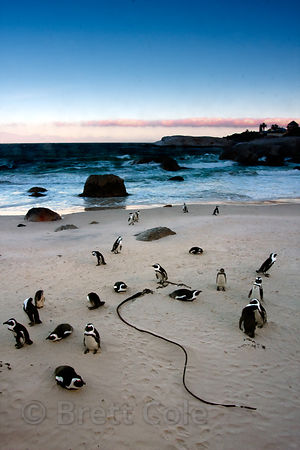 African penguins (Spheniscus demersus) on the beach at dusk, Boulders Beach, South Africa