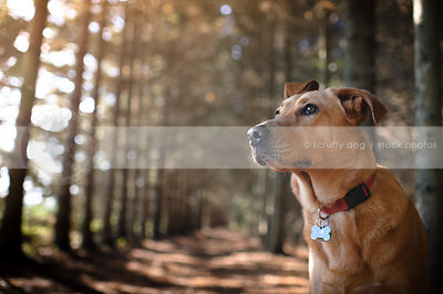 sweet red cross breed dog in pine tree forest