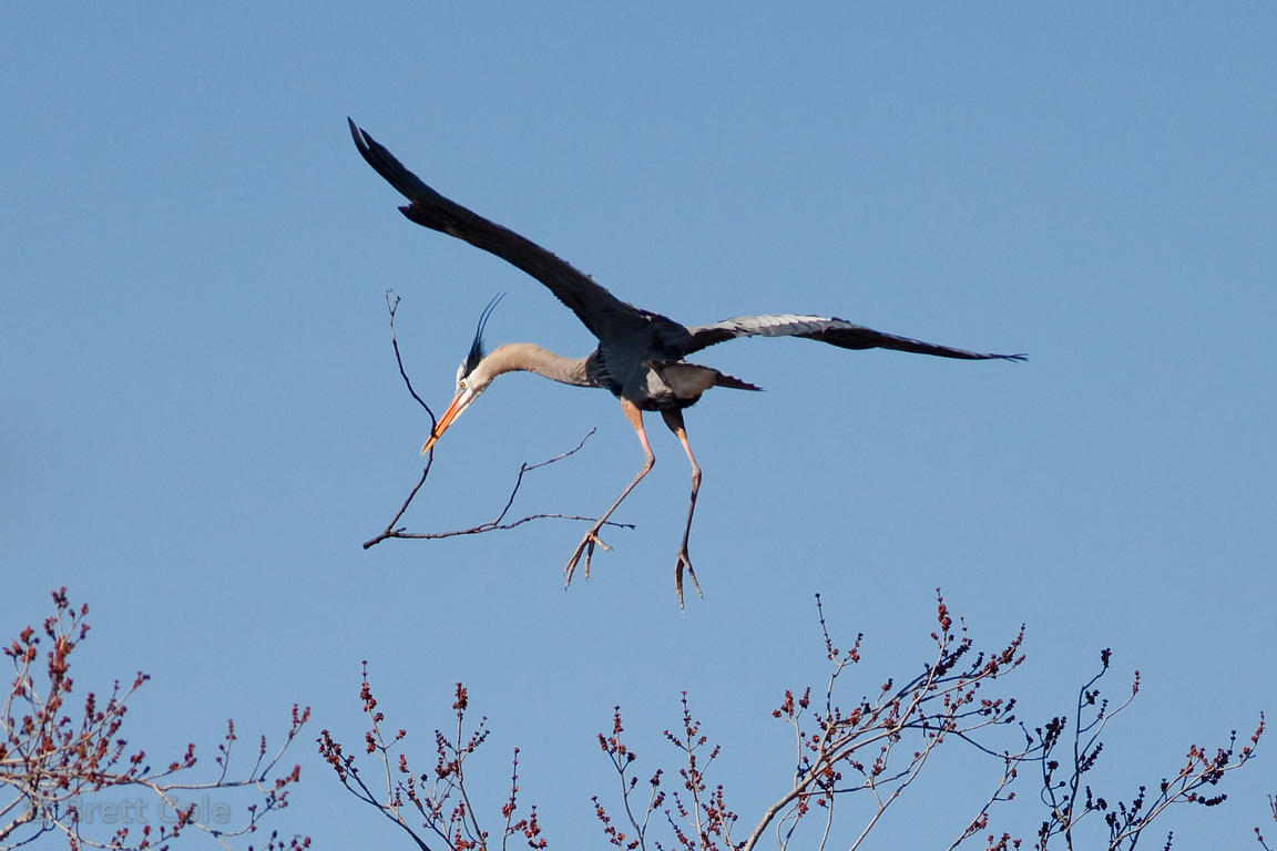Great Blue Heron (Ardea herodias) flying to its nest with a branch in its beak, Lake Whetstone, Montgomery Village, Maryland