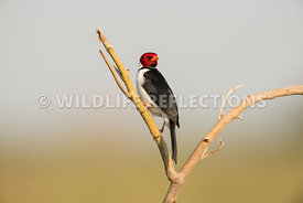 yellow_billed_cardinal_pantanal-8