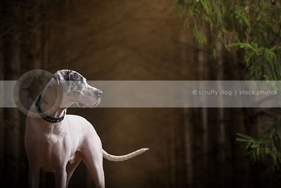 handsome great dane dog with uncropped ears with bokeh background