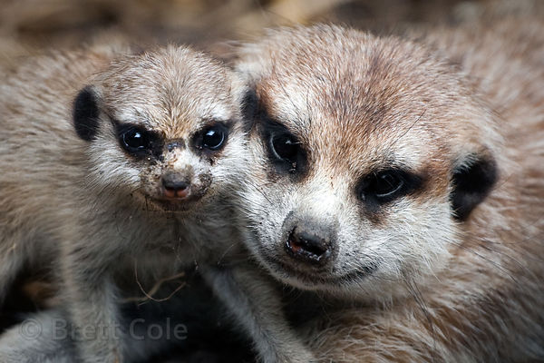 Meerkats (Suricata suricatta), World of Birds, South Africa