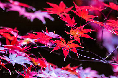 HR-JapaneseMaple-Fall-9780