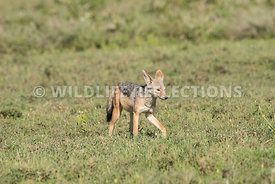 black_backed_jackal_tanzania_04022017-7