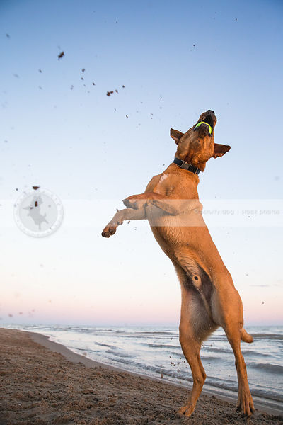 tan dog leaping skyward catching ball on lake shore beach