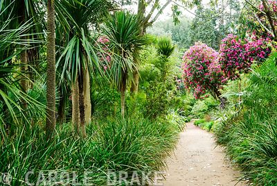 Tall cordylines and deep pink rhododendrons line the jungle ride, underplanted with other lush plants. Abbotsbury Subtropical...