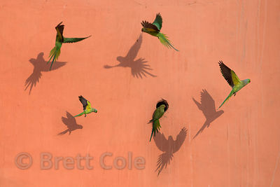 Parrots fly in front of a wall, Budha Pushkar, Rajasthan, India