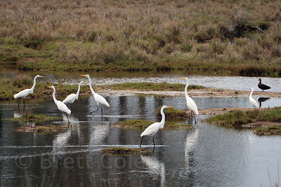 Egrets (sp.) in wetlands on Chincoteague Island, Virginia