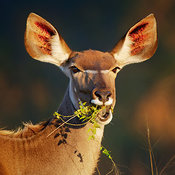 Kudu  eating green leaves