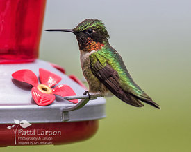 Ruby Throated Hummingbird at the Feeder