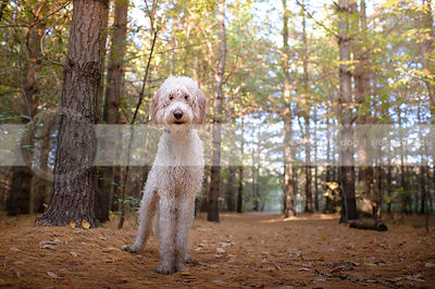 alert wet scruffy mixed breed dog standing in forest pine needles
