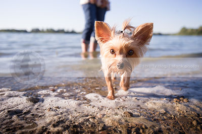 expressive little dog with bow staring coming to camera on beach