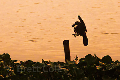 A silhouetted bird carries a small fish to a perch atop a stick, East Kolkata Wetlands, Kolkata, India.
